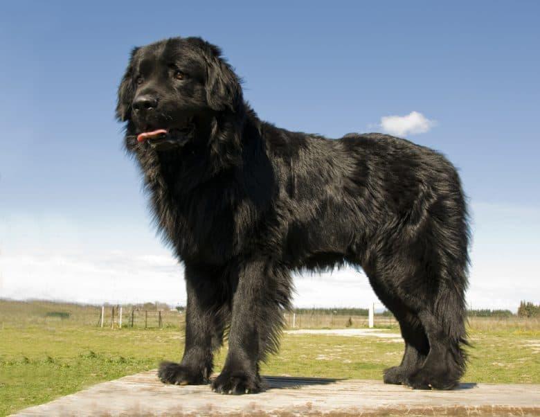 A standing black Newfoundland dog standing