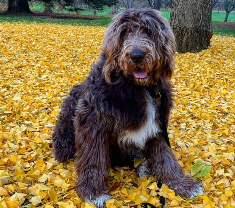 A Newfypoo sitting on dried leaves