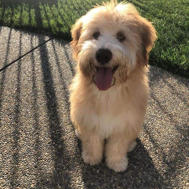 Outdoor portrait of a smiling Whoodle