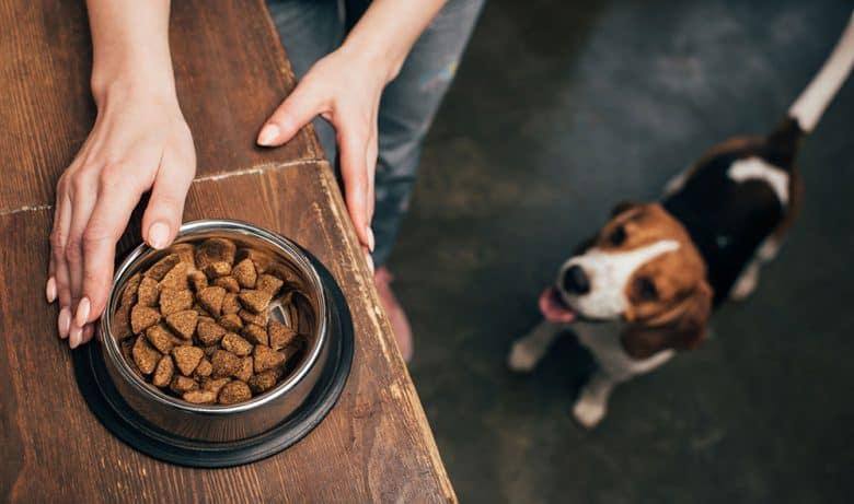 Owner feeding her Beagle dog