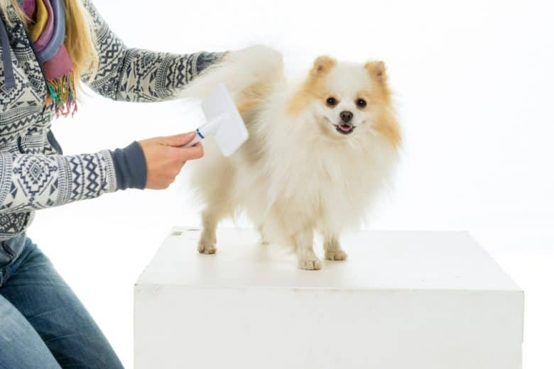 Owner grooming and combing her Pomeranian dog