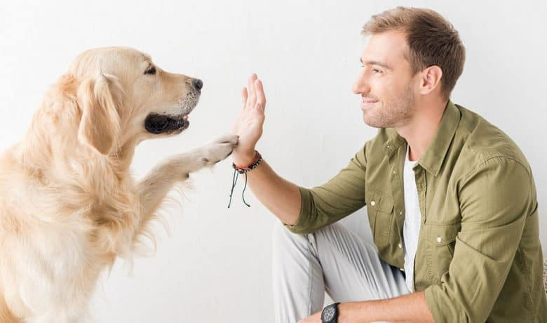 Owner train his Golden Retriever dog to give high five