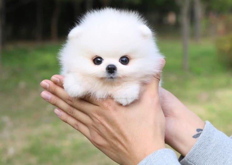 A white Miniature Pomeranian as a palm size dog