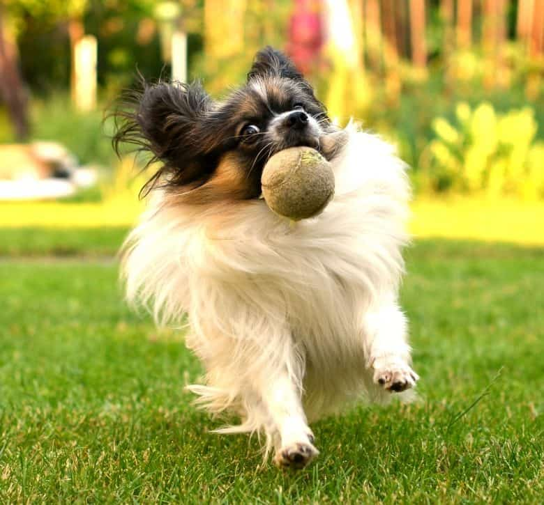 A Papillon dog catching a tennis ball in the park