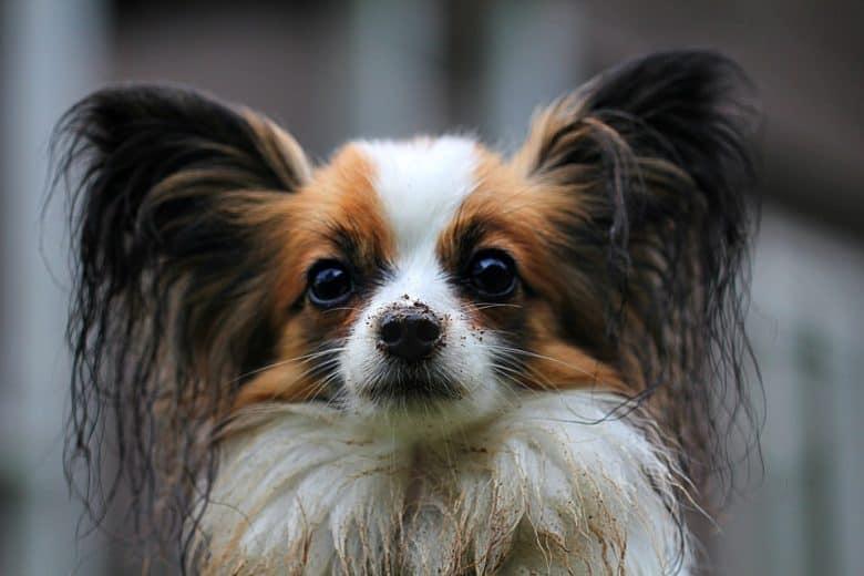 A Papillon dog close-up image