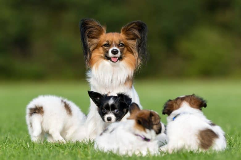 A Papillon mother with her pups loving the sun