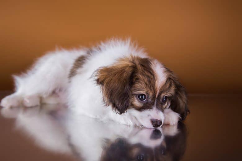 A bored Papillon puppy