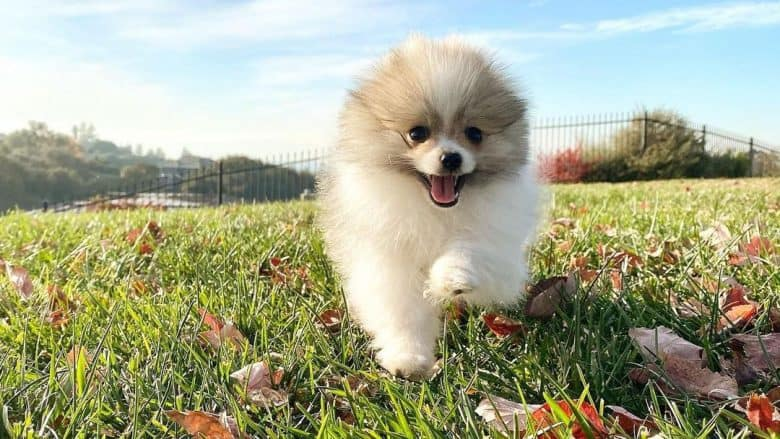 Parti-color Pomeranian dog running on the field