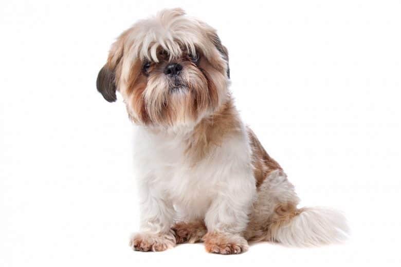 Parti-color Shih Tzu dog portrait