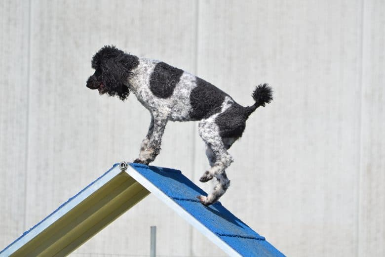 Parti Poodle balancing on an a-frame