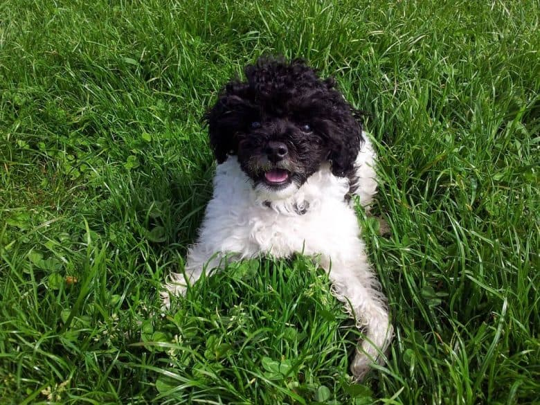 A Parti Poodle loving the grass