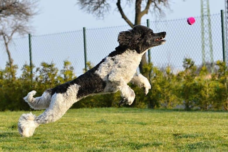 Parti Poodle jumping and trying to catch the pink ball
