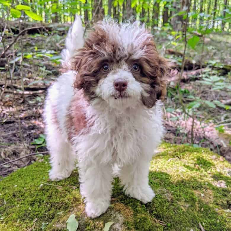 A white and brown fur Parti Poodle puppy enjoying the outdoors