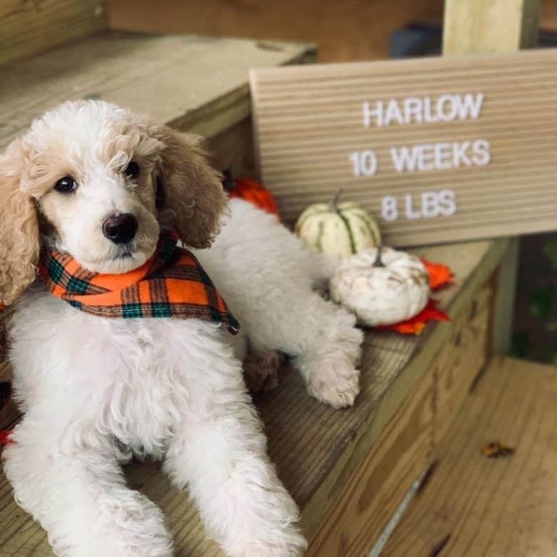 A Parti Poodle puppy celebrating its 10week old day