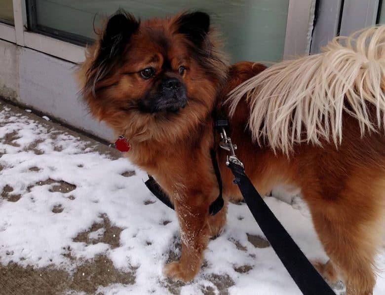 Pekingese Chow Chow mix dog staying outside