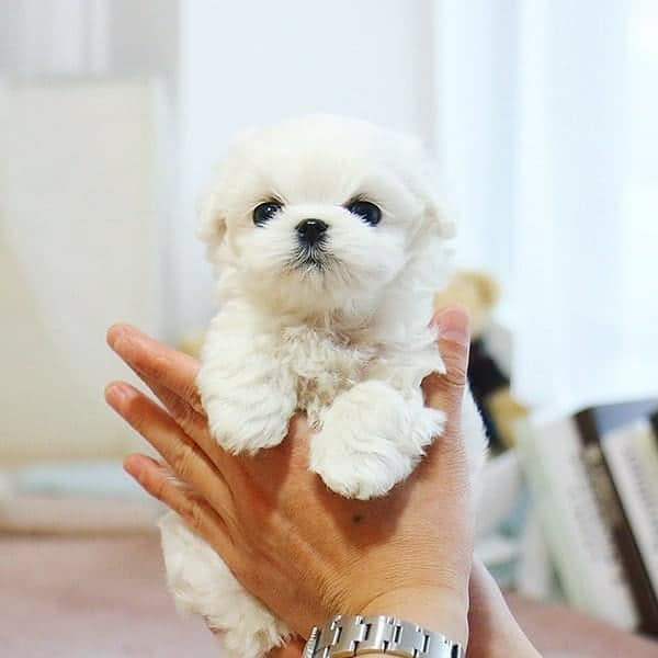 A person holding a cute Teacup Maltese dog