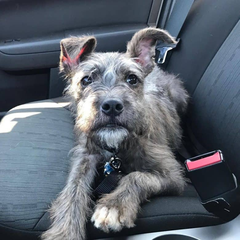 PitBull and Schnauzer mix dog inside the car