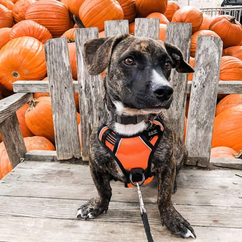 A Pitbull Dachshund mix sitting in a bench with pumpkins behind