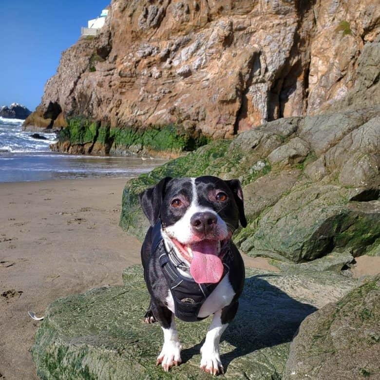 A smiling Pitbull Dachshund mix on a beach