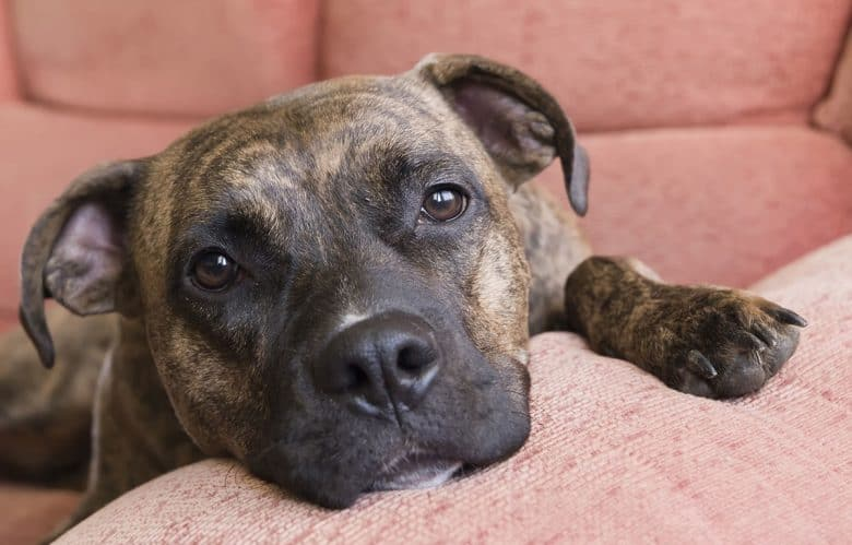 Bored Pit Bull lay down on the couch