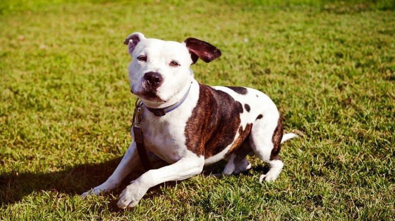 Pitbull dog sitting on the lawn