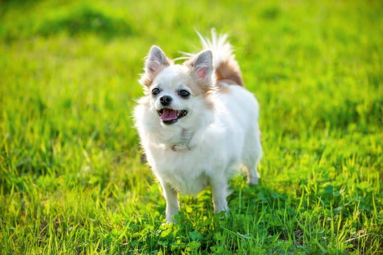 Playful Chihuahua standing on the lawn