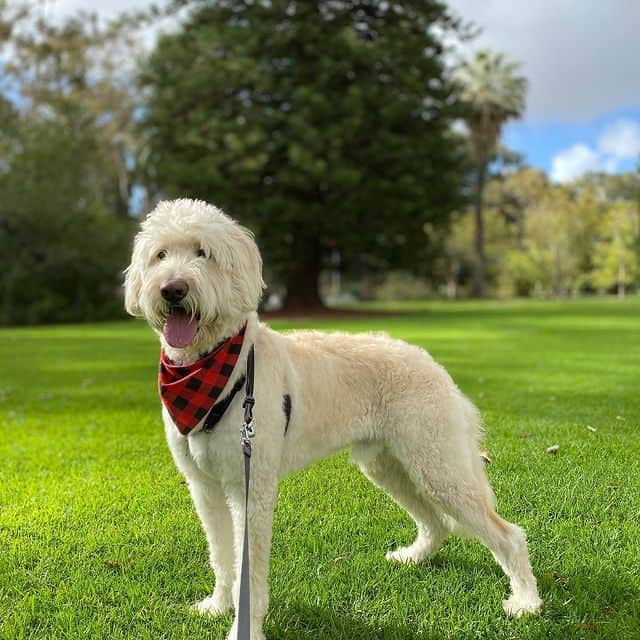 Poised German Shepherd Poodle mix in a park