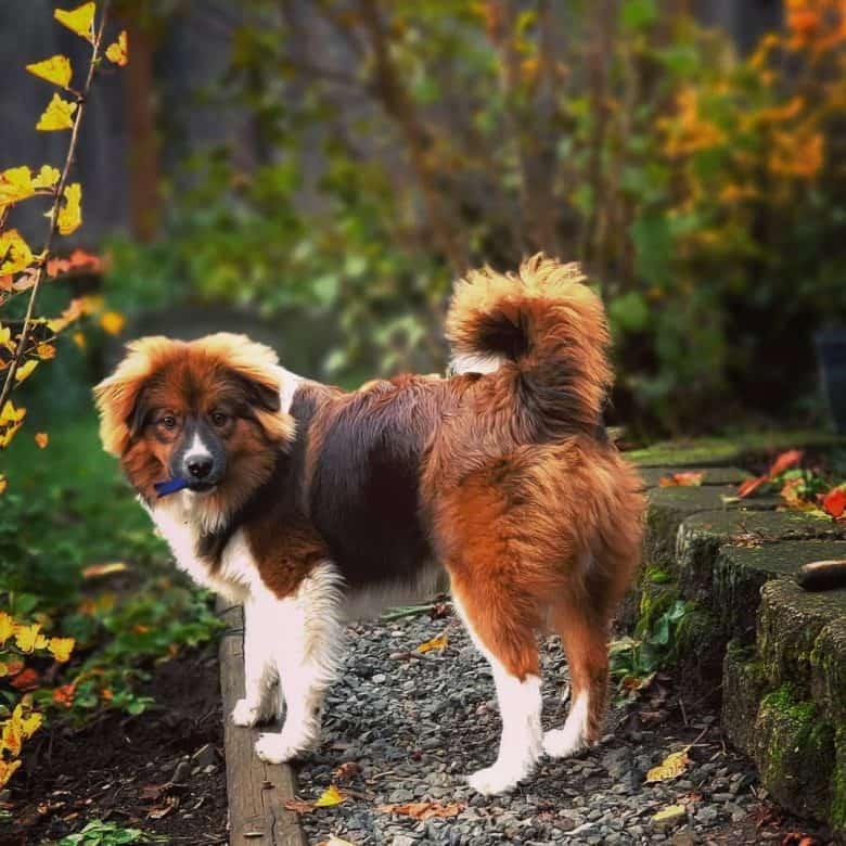 Pom Aussie puppy on a garden
