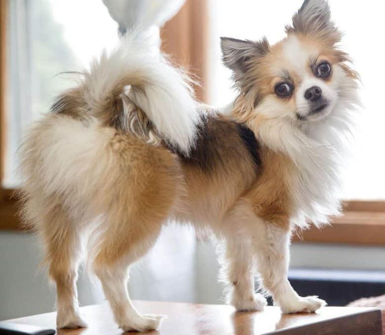 Pomeranian and Shih Tzu mix dog portrait