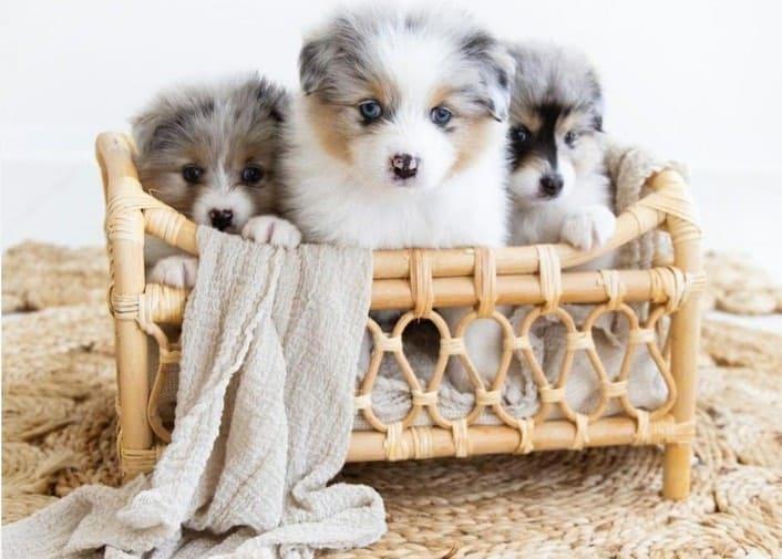 Pomeranian Australian Shepherd mix puppies on a crate