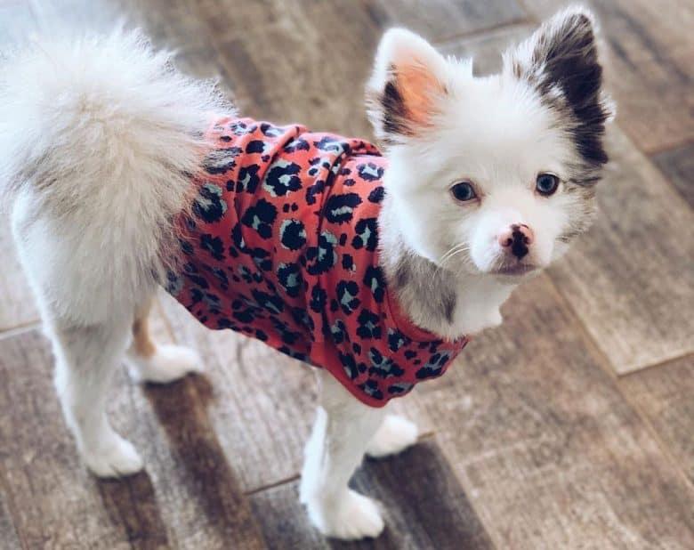 Pomeranian dog with a foxy haircut