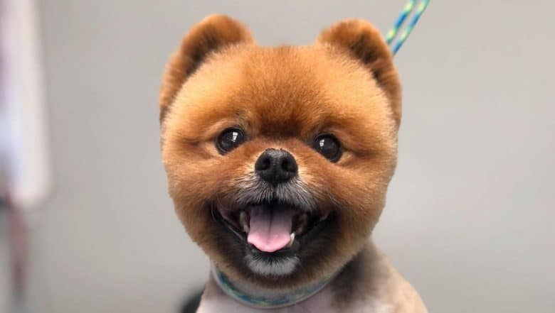 Pomeranian dog with a kennel haircut