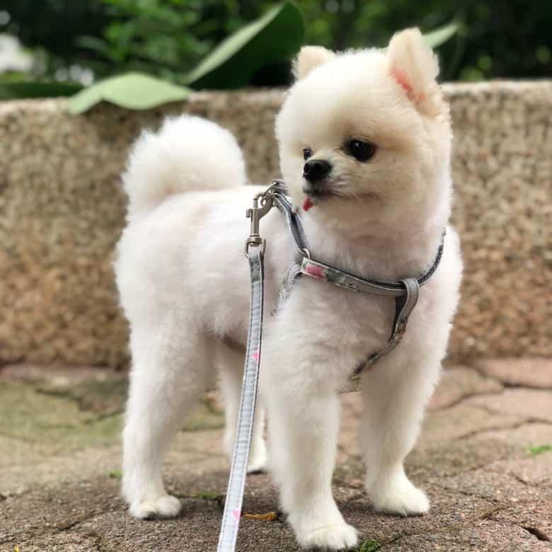 Pomeranian dog with a lamb haircut
