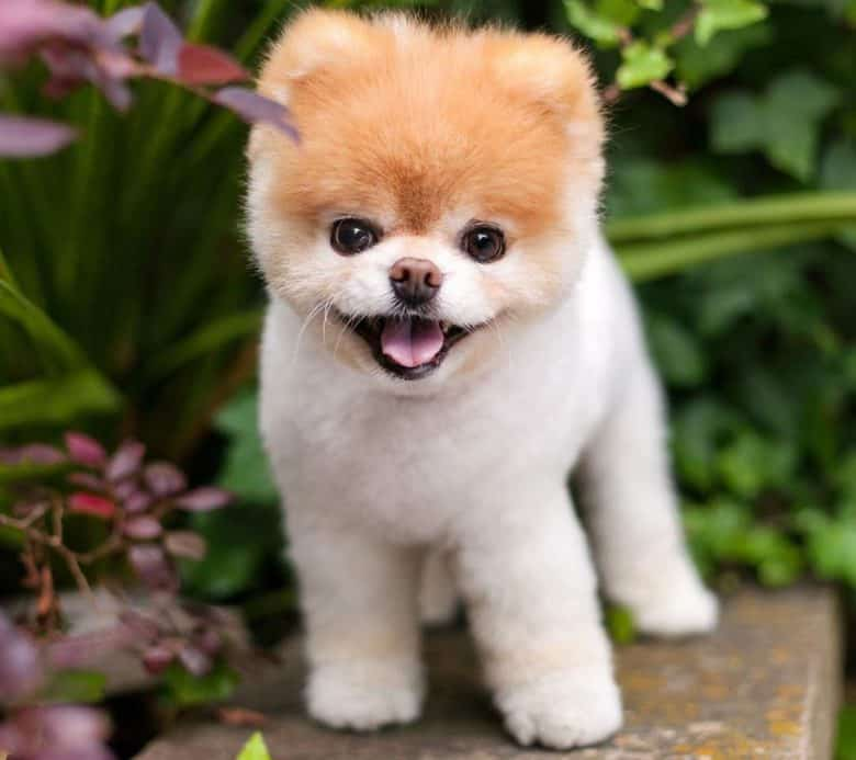 Pomeranian dog with a puppy haircut
