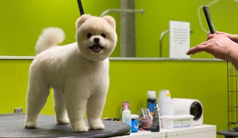 Pomeranian dog with a teddy bear haircut