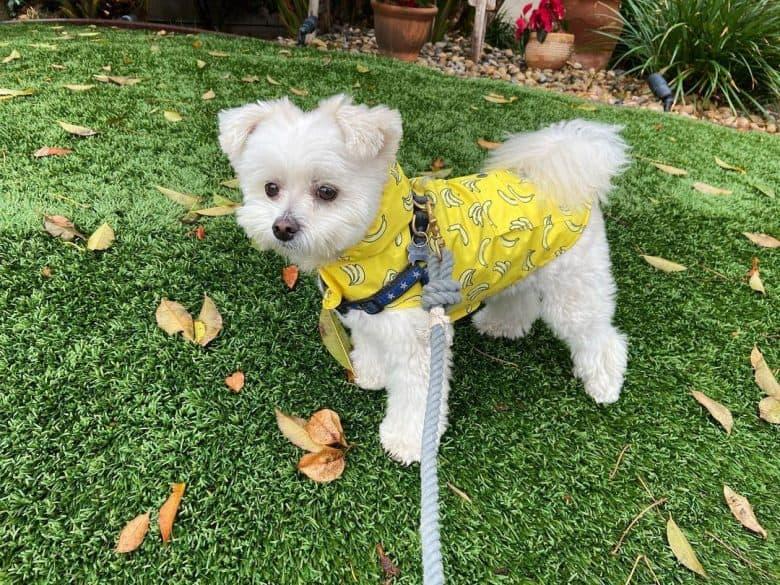 A Pomeranian Maltese mix wearing a raincoat