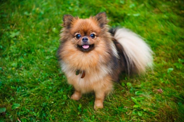 A purebred Pomeranian looking cute sitting on the grass