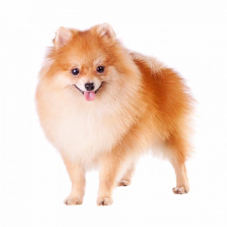 A fluffy Pom-Pom standing on a white background