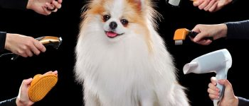 Pomeranian dog portrait with different grooming tools