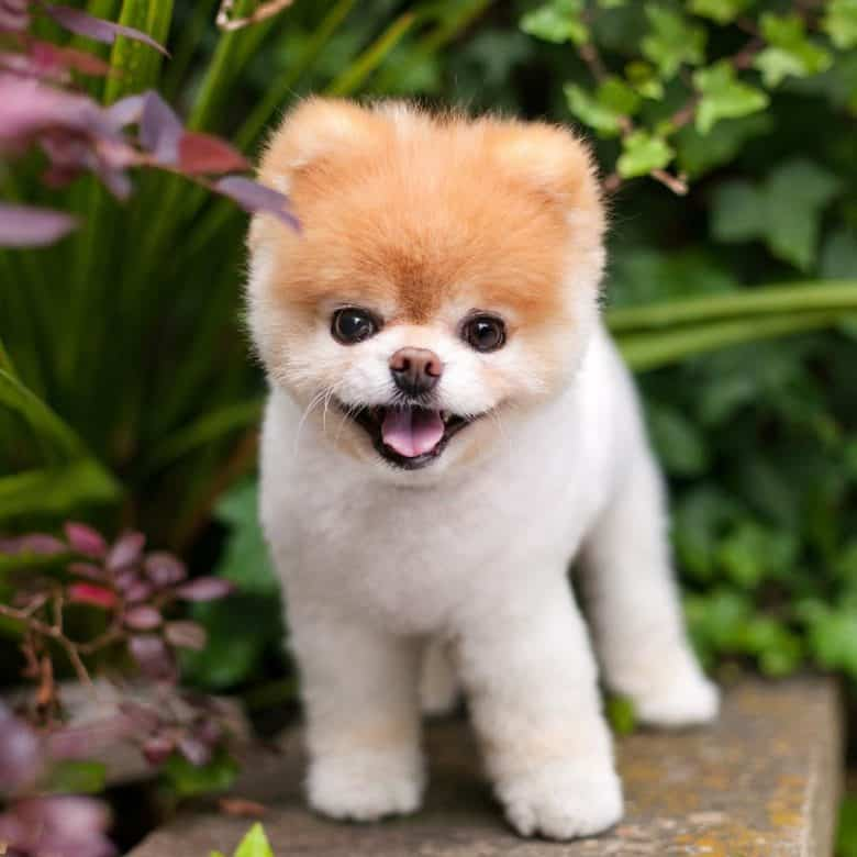 Pomeranian puppy on a garden smiling for a photo
