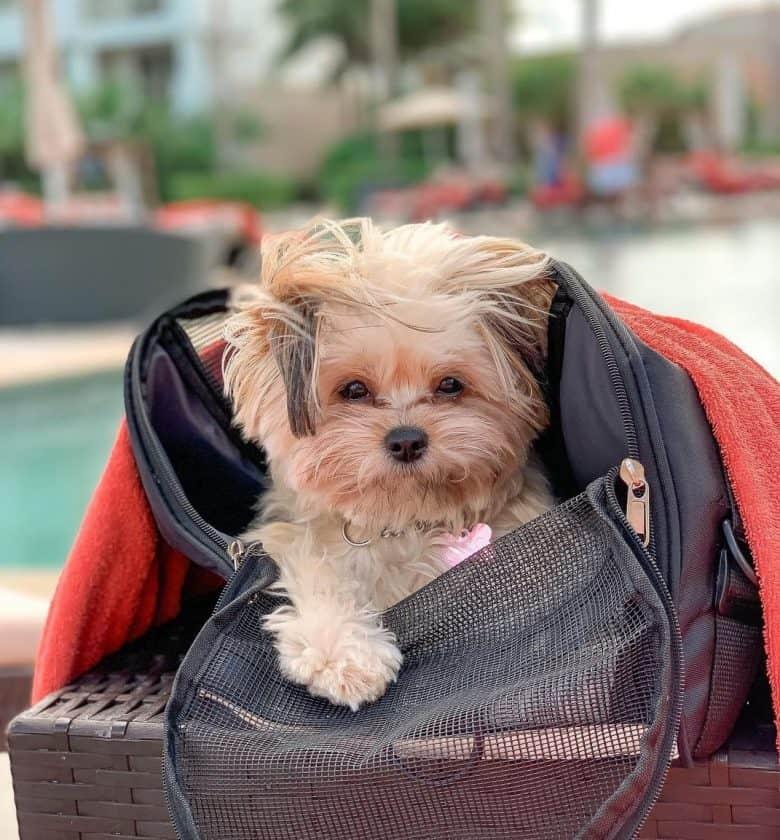A cute Pomeranian Shih Tzu puppy inside an open dog carrier