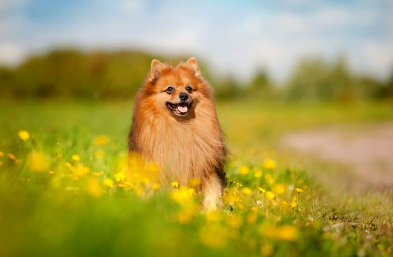 A Pomeranian smiling and sitting on a flower field