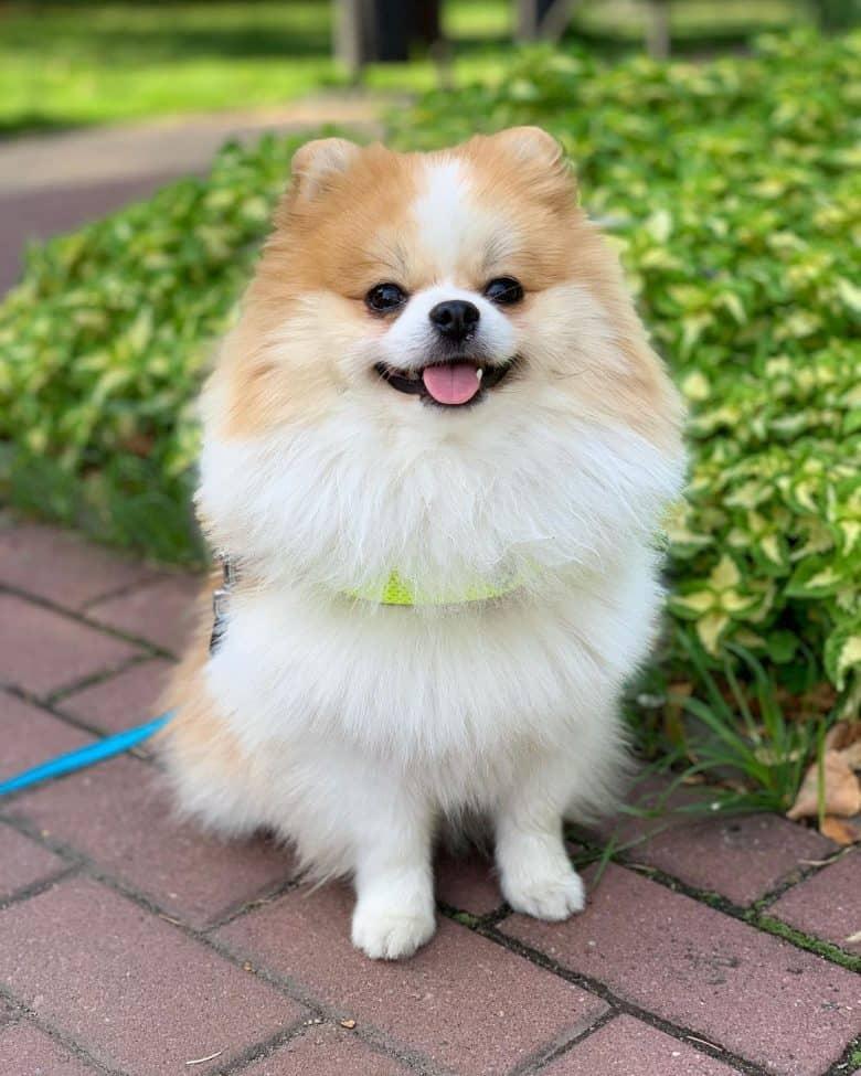 A Pomeranian sitting with a leash