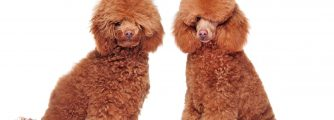 Which poodle haircut is the best?