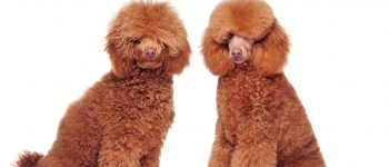 a side by side grooming portrait image of a Poodle
