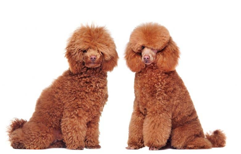 A side by side grooming portrait image of Poodles