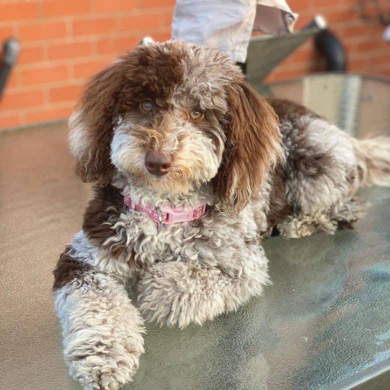 A Poodle Collie mix longing on a glass table