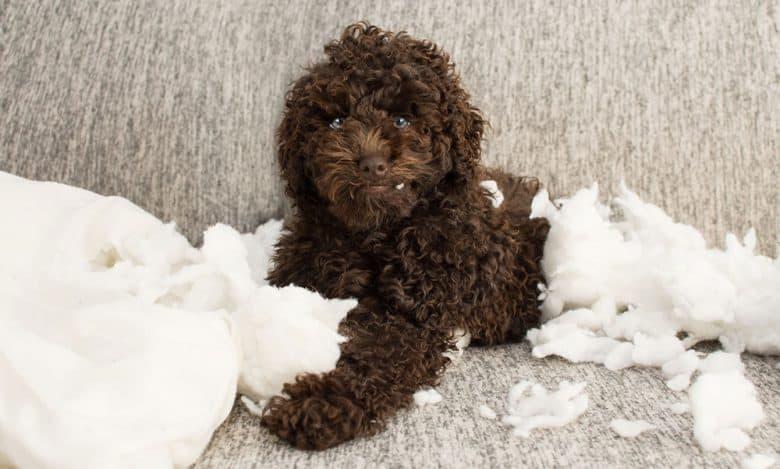 Chocolate Poodle dog biting a pillow
