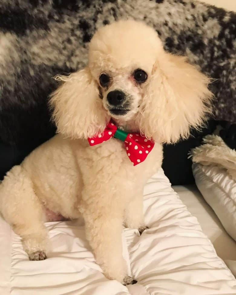 A white Poodle wearing polka dot red bow tie sitting