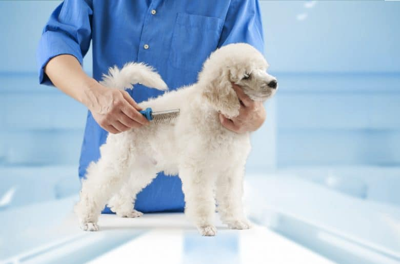 A white Poodle puppy being combed in a grooming salon